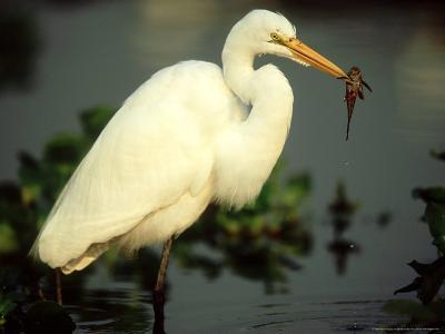 Great Egret, with Fish, Mato Grosso, Brazil-Berndt Fischer-Photographic Print