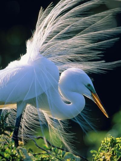 Great egret-Theo Allofs-Photographic Print