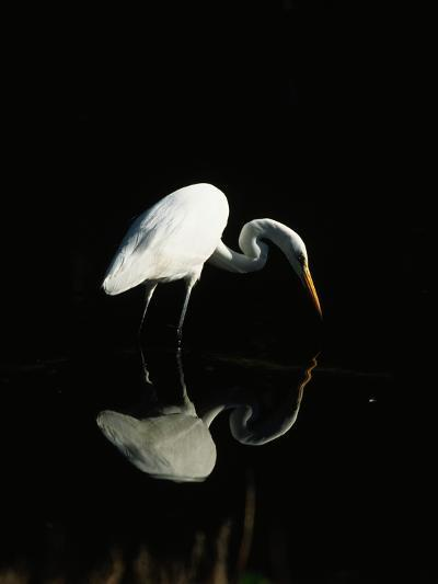 Great Egret-Nik Wheeler-Photographic Print
