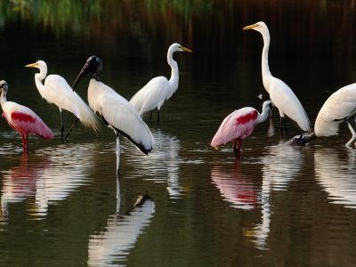 Great Egrets, Ardea Alba, Wood Storks, Mycteria Americana, and Roseate Spoonbill, Pantanal, Brazil-Frans Lanting-Photographic Print