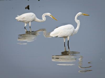 Great Egrets, Huntington Beach State Park, South Carolina, Usa-Rob Sheppard-Photographic Print