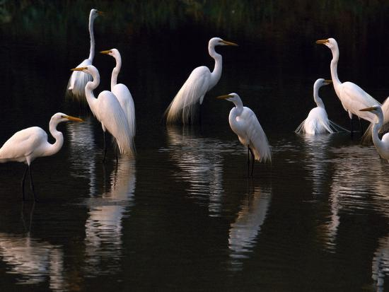Great Egrets in Lagoon, Pantanal, Brazil-Frans Lanting-Photographic Print