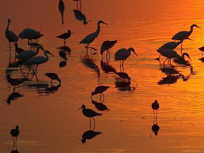 Great Egrets, Yellow Legs, and Snowy Egrets Feed in the Sunset-George Grall-Photographic Print