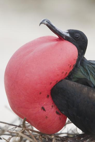 Great Frigatebird Puffing His Inflatable Red Throat Pouch-DLILLC-Photographic Print