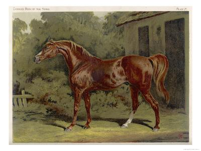 """Great-Grandson of """"Darley Arabian"""" Raced 1769-1770 in 18 Races All of Which He Won--Giclee Print"""