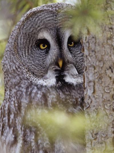 Great Gray Owl Face, Strix Nebulosa, North America-Adam Jones-Photographic Print