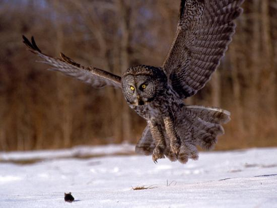 Great Gray Owl Flying, Rowley, MA-Harold Wilion-Photographic Print
