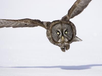 Great Gray Owl Hunting Over Snow-Joe McDonald-Photographic Print
