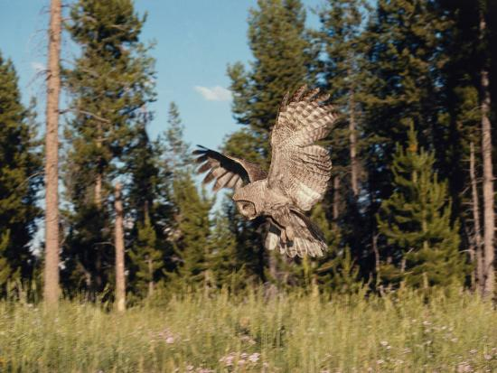 Great Gray Owl in Flight over Field with Trees in the Background-Jeff Foott-Photographic Print