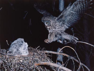 Great Gray Owl Lands on Nest Occupied by Young-Jeff Foott-Photographic Print