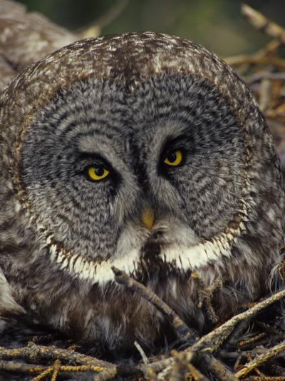 Great Gray Owl on Nest-Michael S^ Quinton-Photographic Print