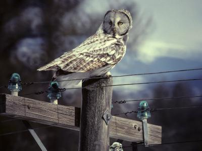 Great Gray Owl on Old Telephone Poles-Michael S^ Quinton-Photographic Print
