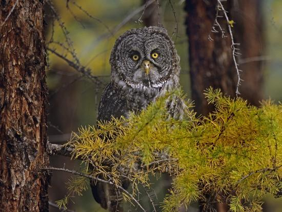 Great Gray Owl Perched in a Forest, British Columbia, Canada-Tim Fitzharris-Photographic Print