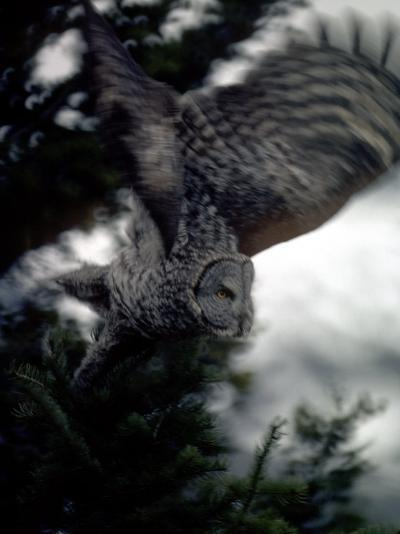 Great Gray Owl Takes Flight in Yellowstone National Park, Wyoming-Michael S^ Quinton-Photographic Print