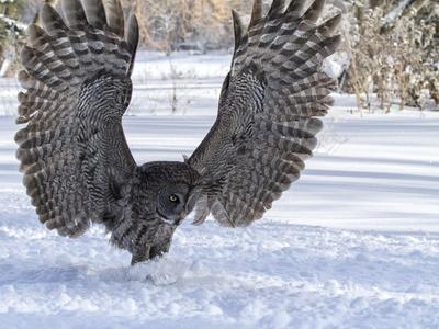 https://imgc.artprintimages.com/img/print/great-gray-owl_u-l-q1046x10.jpg?p=0