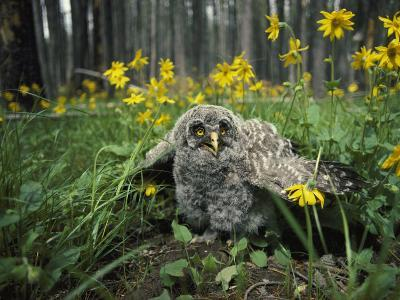 Great Gray Owlet on the Ground Amid Arnica and Grasses-Michael S^ Quinton-Photographic Print