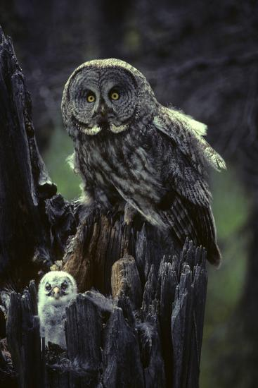 Great Gray Owls on Nest in Idaho-Michael S^ Quinton-Photographic Print
