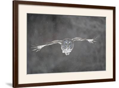 Great Grey Owl Flight--Framed Photographic Print