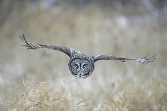 Great Grey Owl in Flight--Photographic Print