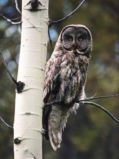 Great Grey Owl Perched in an Aspen Tree in the Daylight-Jeff Foott-Photographic Print