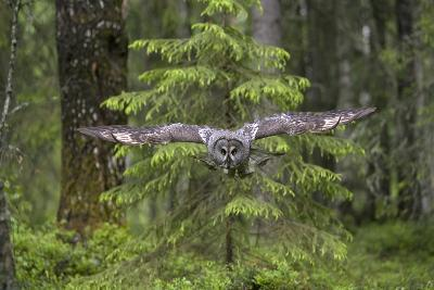 Great Grey Owl (Strix Nebulosa) in Flight in Boreal Forest, Northern Oulu, Finland, June 2008-Cairns-Photographic Print