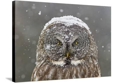Great Grey Owl Winter Portrait-Mircea Costina-Stretched Canvas Print