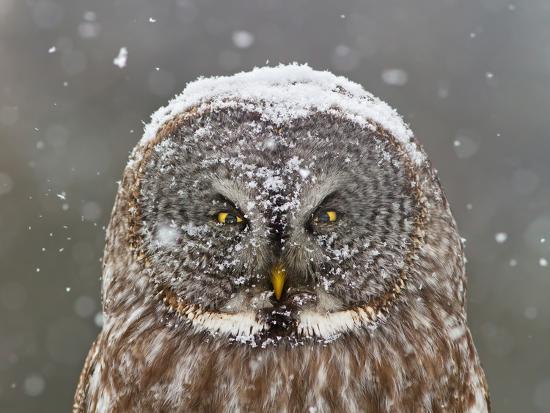 Great Grey Owl Winter Portrait-Mircea Costina-Photographic Print
