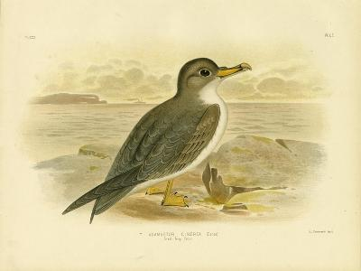 Great Grey Petrel, 1891-Gracius Broinowski-Giclee Print