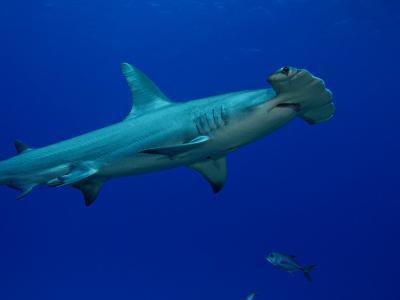 Great Hammerhead Shark (Sphyrna Mokarran), Bahamas-David Fleetham-Photographic Print