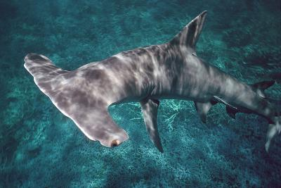 Great Hammerhead Shark--Photographic Print