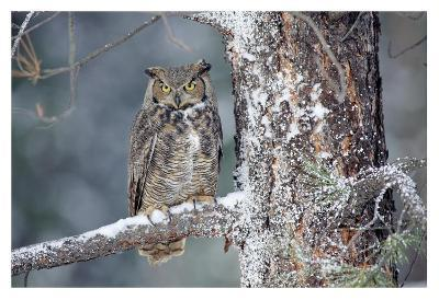 Great Horned Owl adult perching in a snow-covered tree, British Columbia, Canada-Tim Fitzharris-Art Print