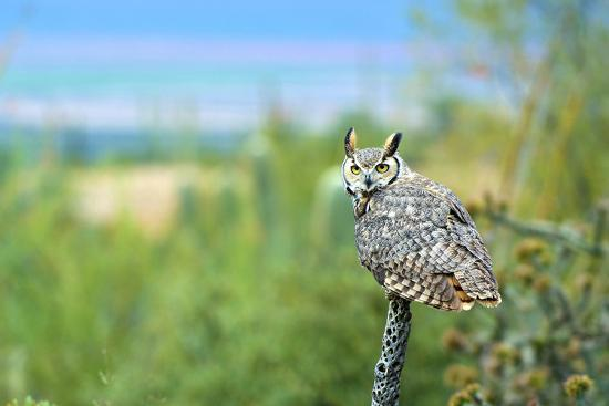 Great Horned Owl, also known as the Tiger Owl-Richard Wright-Photographic Print