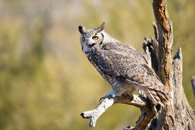 Great-Horned Owl , Arizona-Birdiegal-Photographic Print