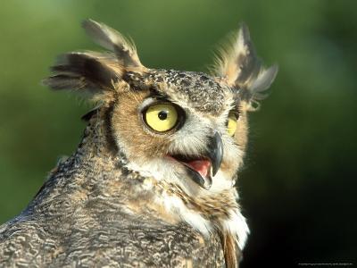 Great Horned Owl, Bubo Viginianus Close up Portrait, Calling, USA-Mark Hamblin-Photographic Print