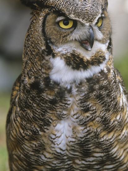 Great Horned Owl, Bubo Virginianus, British Columbia, Canada.-Ian McAllister-Photographic Print