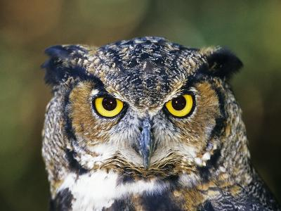 Great Horned Owl (Bubo Virginianus) Portrait, Canada-Ethan Meleg-Photographic Print