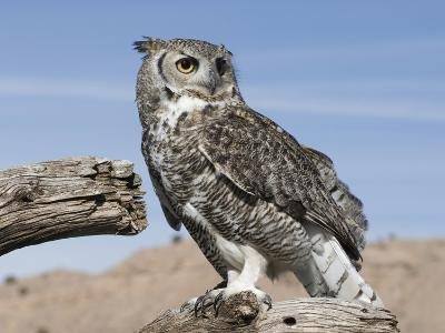 Great Horned Owl (Bubo Virginianus), San Juan Mountains, New Mexico-Tom Walker-Photographic Print
