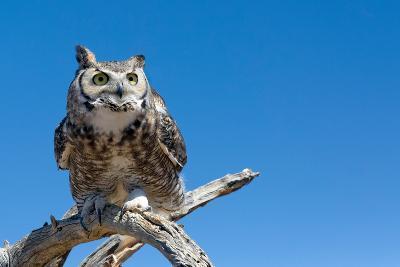 Great Horned Owl, Bubo Virginianus-Susan Degginger-Photographic Print