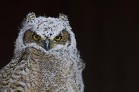 Great-horned Owl, Fledgling-Ken Archer-Premium Photographic Print