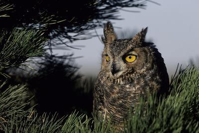 Great Horned Owl in Pine Tree, Colorado-Richard and Susan Day-Photographic Print