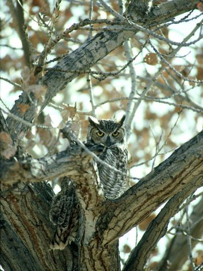Great Horned Owl in Tree, NM-Stan Osolinski-Photographic Print