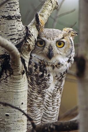 https://imgc.artprintimages.com/img/print/great-horned-owl-pale-form-british-columbia-canada_u-l-q13biq40.jpg?p=0