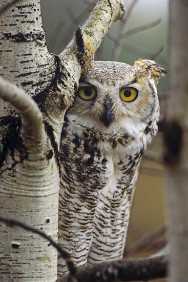 Great Horned Owl Pale Form, British Columbia, Canada-Tim Fitzharris-Photographic Print