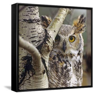 Great Horned Owl Pale From, British Columbia, Canada-Tim Fitzharris-Framed Canvas Print