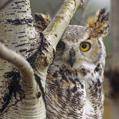 Great Horned Owl Pale From, British Columbia, Canada-Tim Fitzharris-Photographic Print
