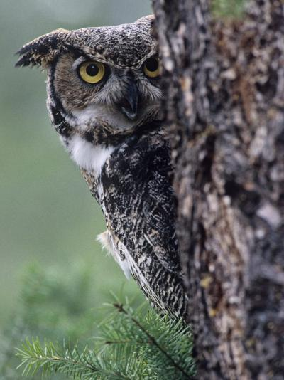 Great Horned Owl Peering from Behind a Tree Trunk (Bubo Virginianus), North America-Joe McDonald-Photographic Print