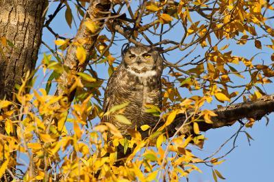 Great Horned Owl sleeping in cottonwood.-Larry Ditto-Photographic Print
