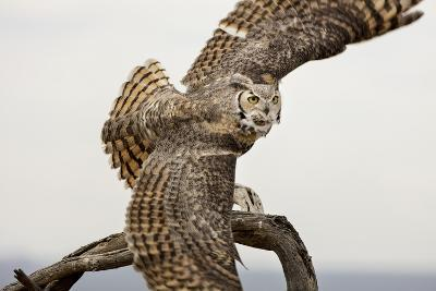 Great Horned Owl, Sonora Desert , Tucson, Arizona, Usa-Chuck Haney-Photographic Print