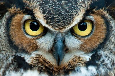 Great Horned Owl Staring with Golden Eyes- jadimages-Photographic Print