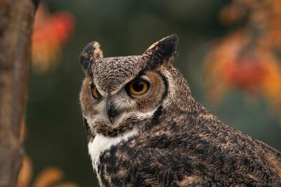 Great Horned Owl with Blurred Autumn Foliage-W^ Perry Conway-Photographic Print